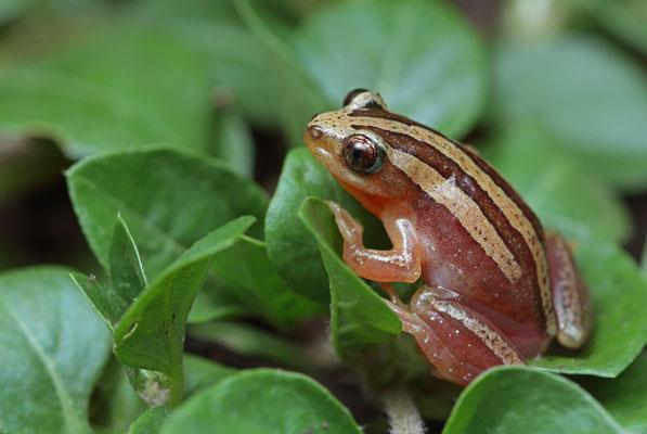 Four-lined Banana Frog (Afrixalus quadrivittatus)