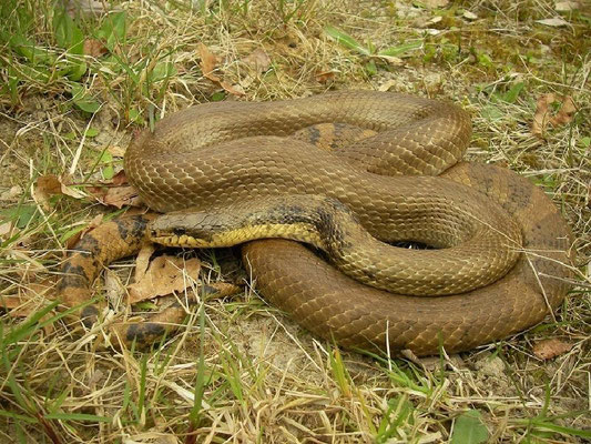 Russian Ratsnake (Elaphe schrenckii), Drenthe, the Netherlands, April 2011