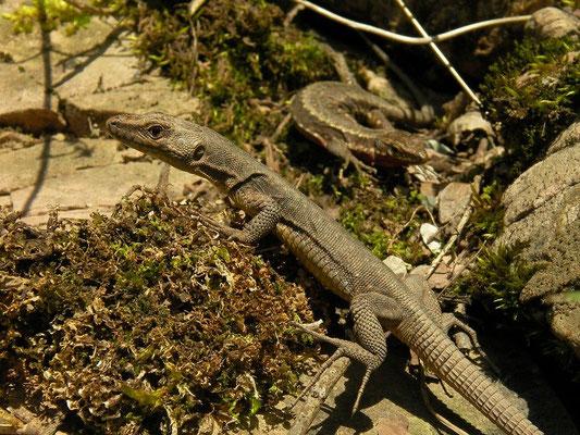 Spiny-tailed Lizard (Darevskia rudis bischoffi) and Red-bellied Lizard (Darevskia parvula adjarica) basking together.
