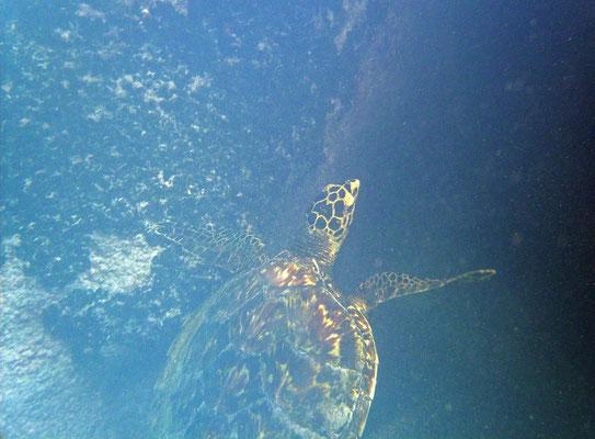 Hakwksbill Sea Turtle (Eretmochelys imbricata)
