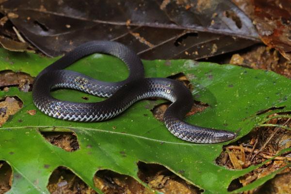 Ruthven's Earth Snake (Geophis ruthveni)