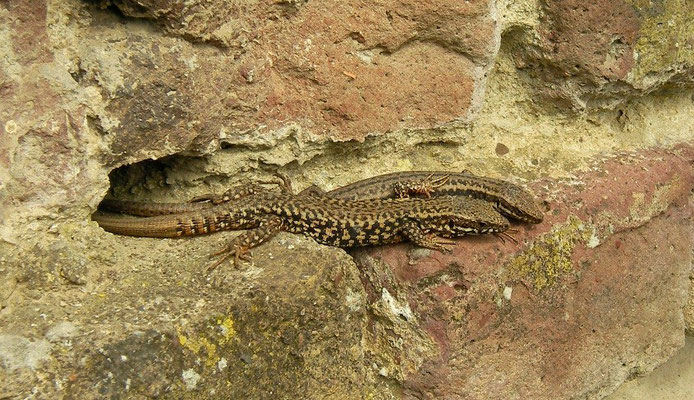 Common Wall Lizard (Podarcis muralis) couple, Maastricht, The Netherlands, April 2009