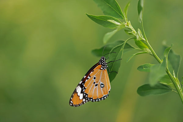 African Monarch (Danaus chrysippus)