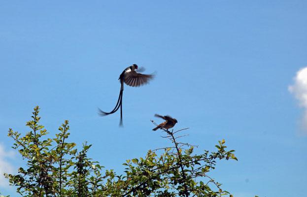 Pin-tailed Whydah (Vidua macroura) courtship.