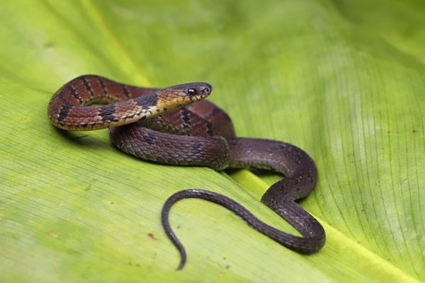 Banded Coffee Snake (Ninia maculata)
