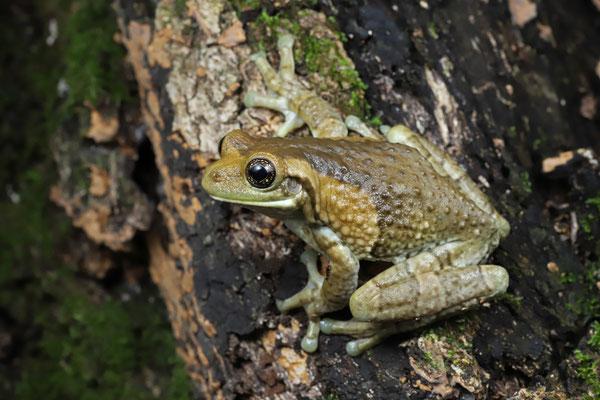 Milk Frog (Trachycephalus typhonius)