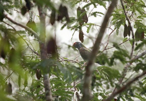 White-crowned Parrot (Pionus senilis)