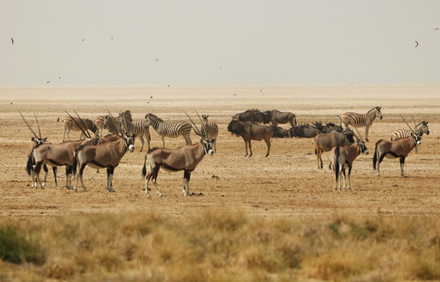Dusty days at the Okondeka waterhole with Oryx, Zebra and Wildebeest.