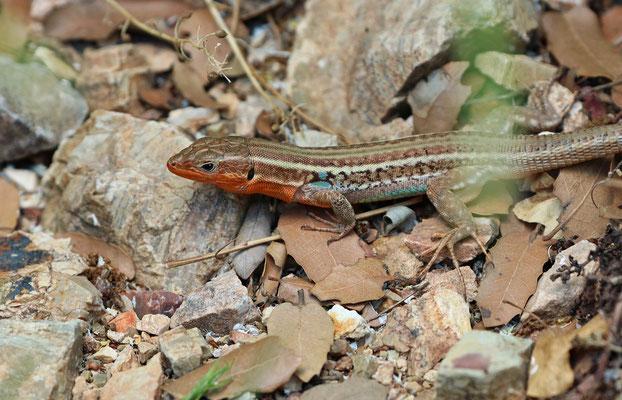 Peloponnese Wall Lizard (Podarcis peloponnesiacus) male