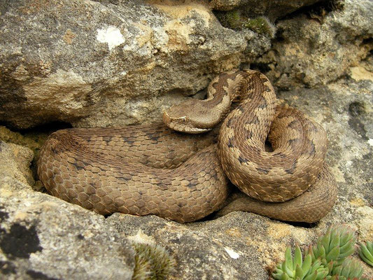 Lataste's Viper (Vipera latastei) female, Burgos, Spain, April 2012