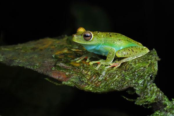 Red-webbed Tree Frog (Boana rufitela)
