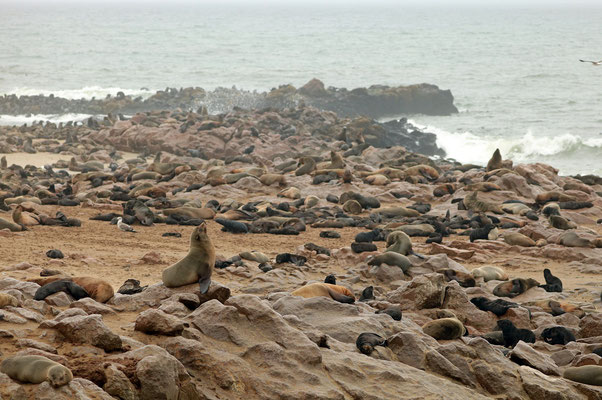Cape Fur Seal (Arctocephalos pusillus) colony