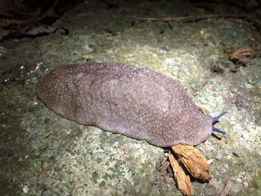 Seychelles Slug (Filicaulis seychellensis)
