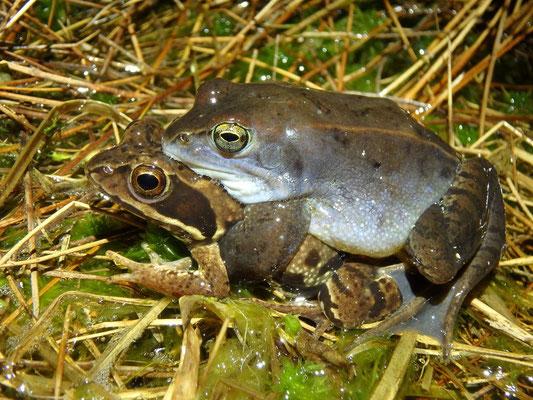 Moor Frog (Rana arvalis) amplexus