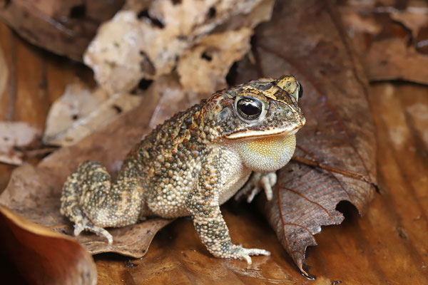 Dry Forest Toad (Incilius coccifer) calling male