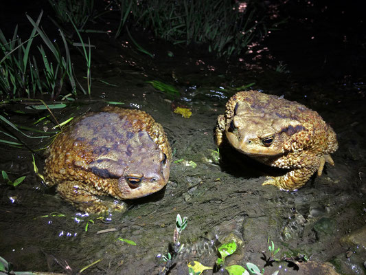Caucasian Toads (Bufo verrucosissimus) on the road.