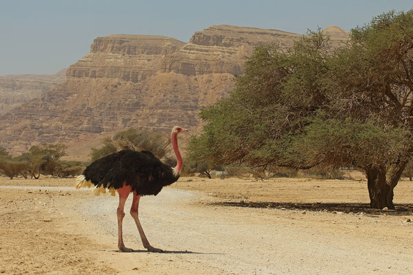 Ostrich (Struthio camelus) male
