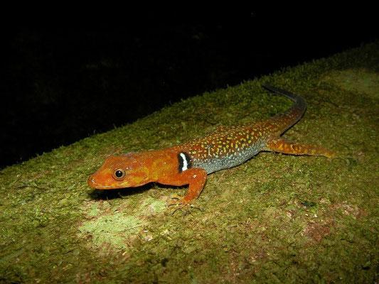 Collared forest gecko (Gonatodes concinnatus)