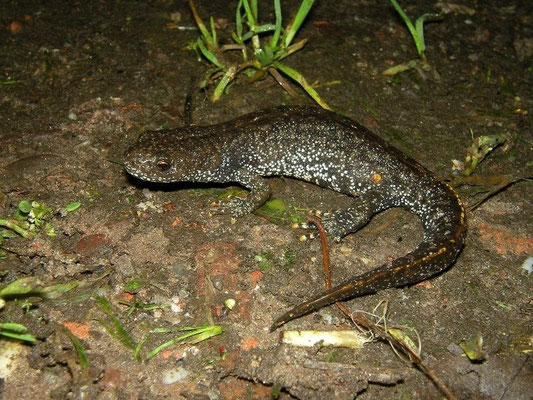 Northern Crested Newt (Triturus cristatus), landphase, Drenthe, the Netherlands, September 2011