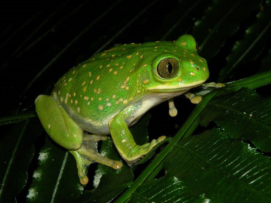 Yellow-spotted Tree Frog (Leptopelis flavomaculatus)