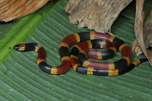 Costa Rican Coralsnake (Micrurus mosquitensis)