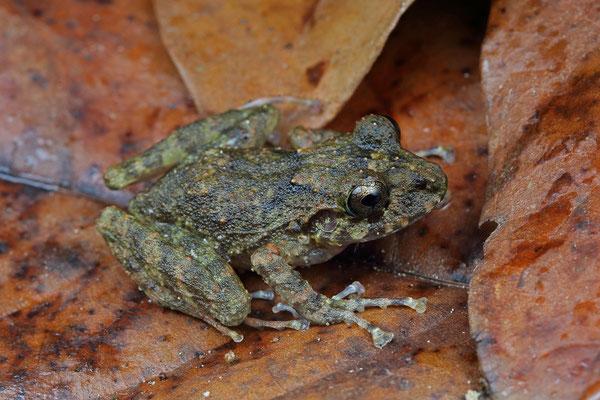 Stuart's Robber Frog (Craugastor stuarti)
