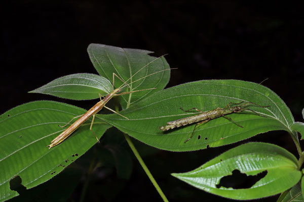 The diversity of stick insects in these forests is amazing as well, here a Metriophasma and a Xylospinodes species.