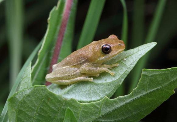 Balfour's Reed Frog (Hyperolius balfouri)