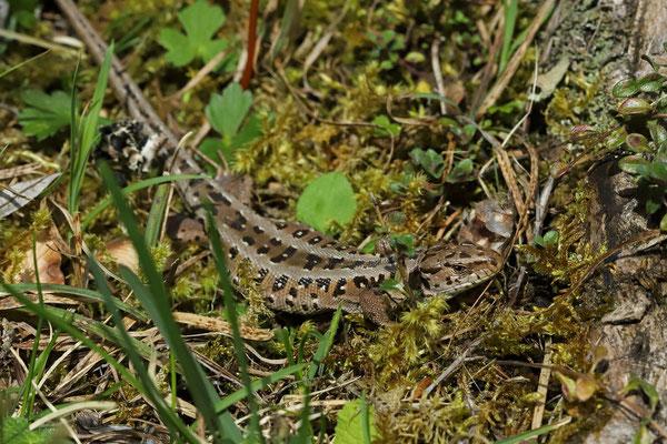 Sand Lizard (Lacerta agilis) female