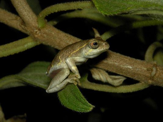 Painted Reed Frog (Hyperolius marmoratus)