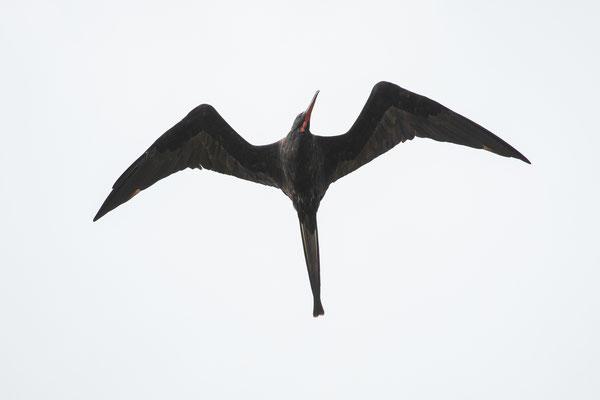 Magnificent Frigatebird (Fregata magnificens) © Jasper Boldingh
