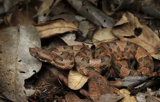 Yucatan Hognosed Pitviper(Porthidium yucatanicum)