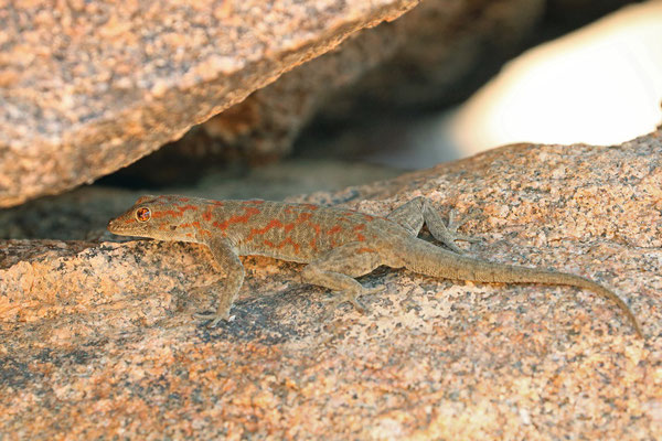 Boulton's Namib Day Gecko (Rhoptropus boultoni) living up to its name, active by day. Most of them were seen at night.