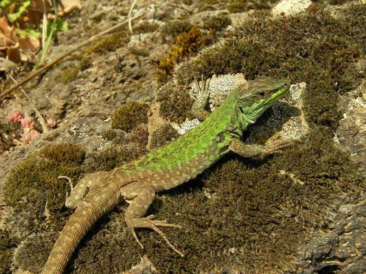 Italian Wall Lizard (Podarcis siculus), Sicily, Italy, May 2014