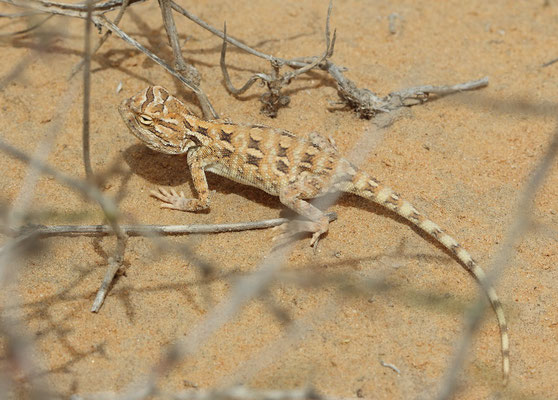 Egyptian Sand Agama (Trapelus savignii)