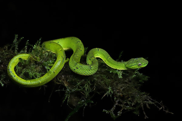 Side-striped Palm Pitviper (Bothriechis lateralis)