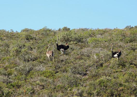 Ostriches (Struthio camelus)