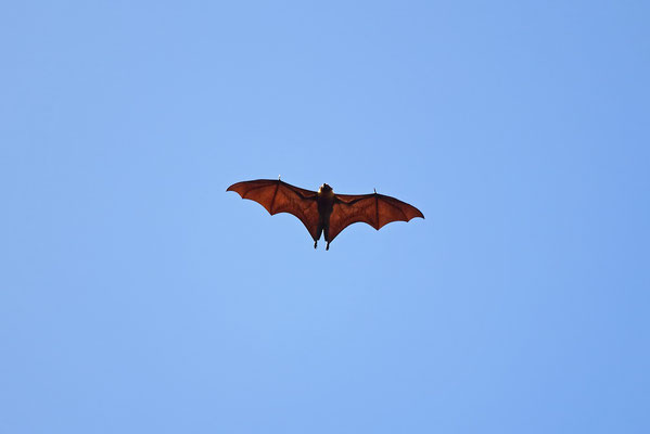 A common sight throughout the trip, a Seychelles Fruitbat (Pteropus seychellensis) flying over.