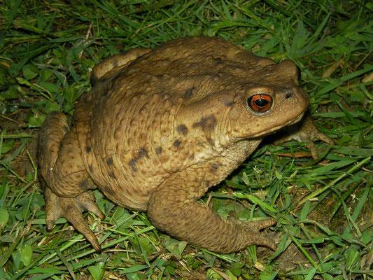 Eichwald's Toad (Bufo eichwaldi)