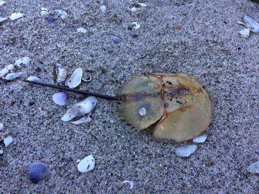 Mangrove Horseshoe Crab (Carcinoscorpius rotundicauda)