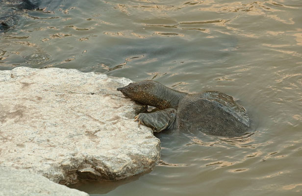 African Softshell Turtle (Trionyx triunguis) displaying the three claws which give the species their scientific name.