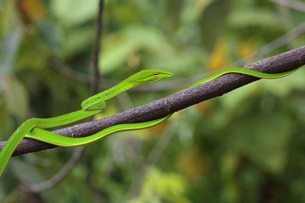 Asian Vine Snake (Ahaetulla prasina)