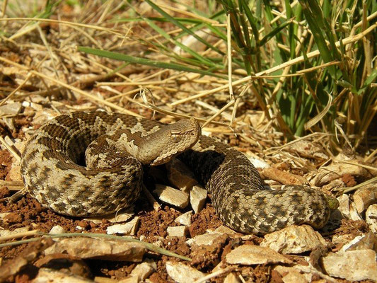 Nose-horned Viper (Vipera ammodytes), Peloponnese, Greece, October 2012