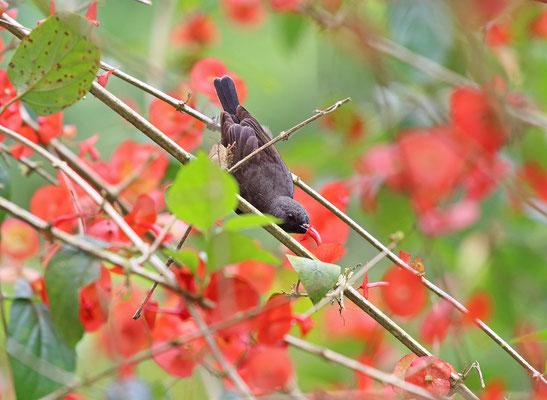 Seychelles Sunbird (Cinnyris dussumieri) drinking nectar from a flower.