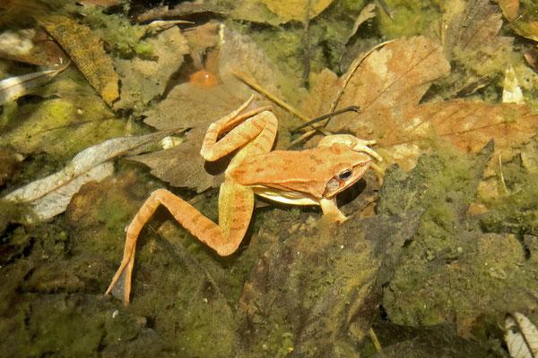 Agile Frog (Rana dalmatina) male