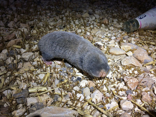 Judean Mountains Blind Mole-rat (Spalax judaei)