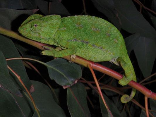 Mediterranean Chameleon (Chamaeleo chamaeleon)