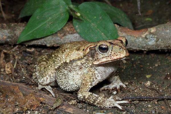 Yellow Toad (Incilius luetkenii), these toads can be brilliantly yellow in the breeding season.