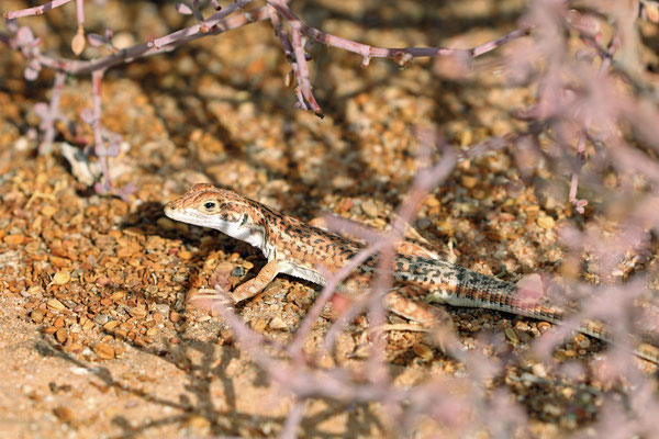 Spotted Sand Lizard (Meroles suborbitalis)