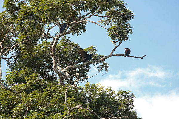 Black Vultures (Coragyps atratus) and a Turkey Vulture (Cathartes aura) resting in a tree next to the pool.